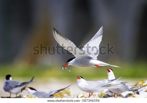 Cute bird tern. Bird nest. Bird mating Common Tern Sterna hirundo.