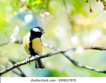cute bird tit sitting on cherry branch in spring garden in may flowers
