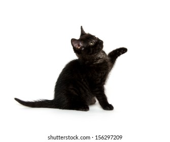 Cute black American short hair kitten playing on white background