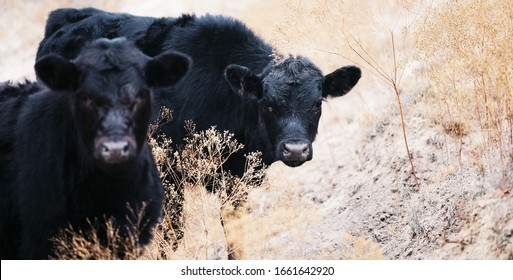 Cute black Angus calves closeup with abstract shallow depth of field.