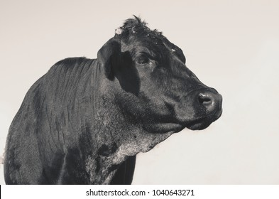 Cute black angus cow profile view of head on farm.  Authentic image of beef heifer for agriculture industry.