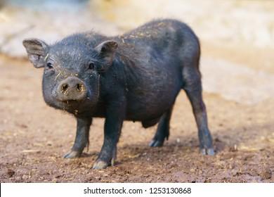 Cute black baby-pig on the farm