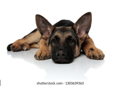 cute black and brown shepard dog lying on white background with head down
