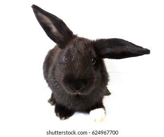 Cute black bunny rabbit sitting on white background