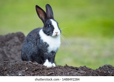 cute black bunny with white hair on nose, chest and paws sitting on a pile of dirt with blurry green background staring at  you
