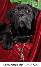 Cute black cane corso puppy portrait