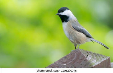 Cute Black capped Chickadee bird from Kentucky perching on deck urban wildlife photography