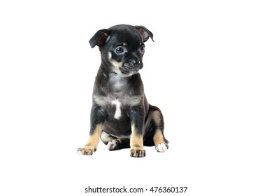 Cute black chihuahua puppy, isolated on white background image