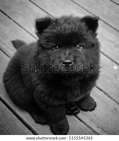 Cute Black Chow Chow Puppy Looks Stock Photo Edit Now 1155545365