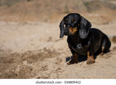 cute black dachsund