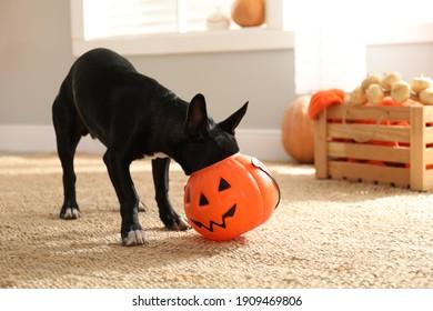 Cute black dog with Halloween treat bucket on floor indoors