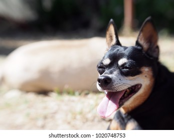 cute black fat lovely miniature pincher dog with brown dog eyes curious face close up resting outdoor on country home garden floor selective focus portraits view.