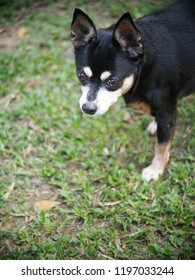cute black fat lovely miniature pincher dog with brown dog eyes making funny portrait playing outdoor on green grass country home garden floor selective focus blur background