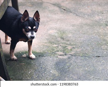 cute black fat lovely miniature pincher dog with brown dog eyes making funny portrait playing outdoor on country home garden floor selective focus blur background