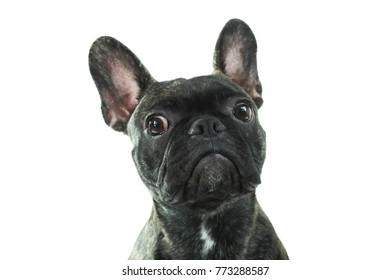 Cute black French Bulldog isolated on white background.