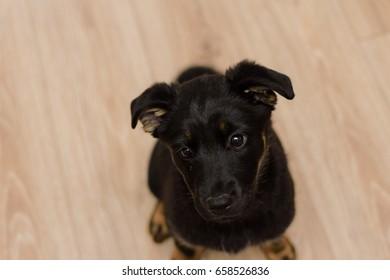 cute black German shepherd puppy dog