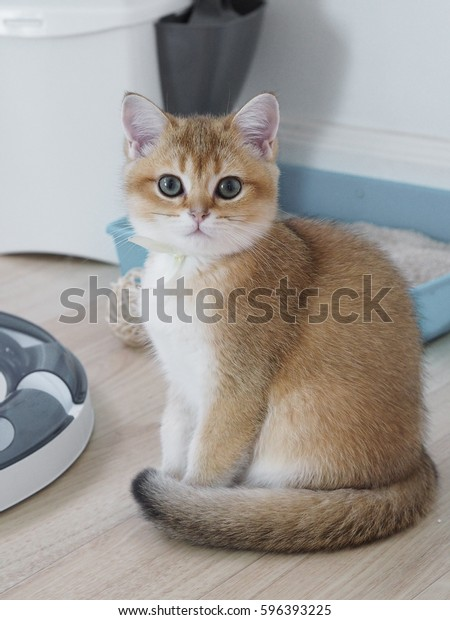 Cute Black Golden British Shorthair Kitten Stock Photo (Edit