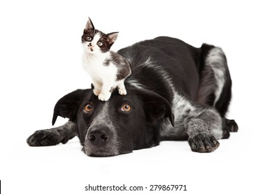 A cute black and grey color Border Collie dog laying with head down and eyes looking up at a little kitten sitting on his head