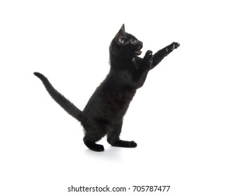 Cute black kitten playing and isolated on white background
