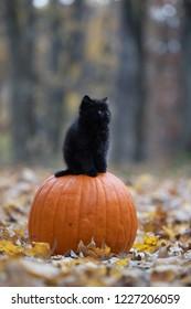 Cute black kitten sitting on an orange pumpkin in the woods at Halloween