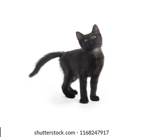 Cute black kitten standing isolated on white background