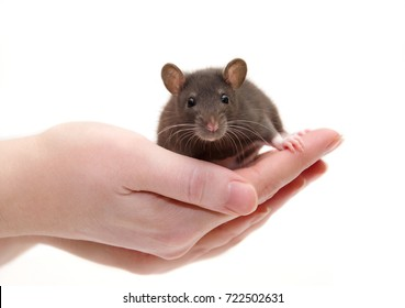 Cute black laboratory rat baby in human hands (isolated on white), selective focus on the rat eyes