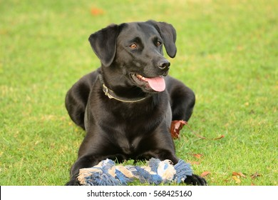 cute black labrador with a blue toy
