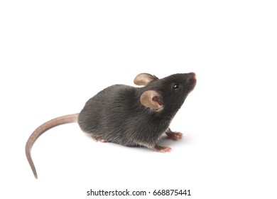 Cute black mouse on a white background
