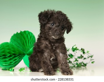 Cute black poodle puppy on a Green background with a shamrock decoration for St. Patrick's Day