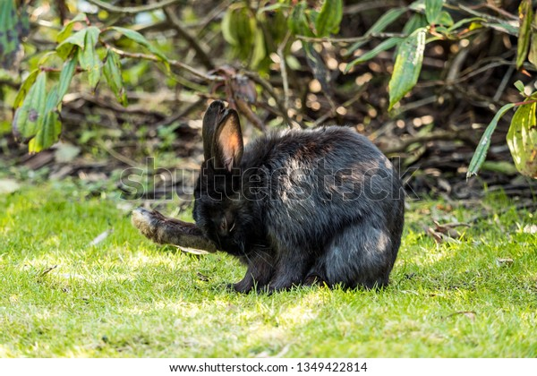 cute black rabbit sitting on green grass field in front of bushes in the park licking its right foot