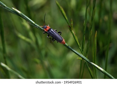 Cute black and red insect climbs a plant. Closeup of garden animals. Insect life and nature.