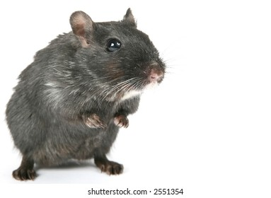 Cute black rodent isolated on a white background, macro close up with copy space