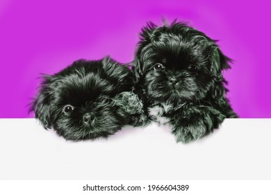 Cute black shih tzu puppy dog pug above banner look down with copy space for label on purple background, Mockup template.