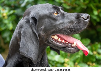 Cute black short hair German pointer dog is focusing on a bird