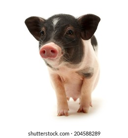 Cute black small-eared pig on white background