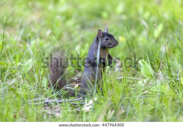 Cute black squirrel in the park