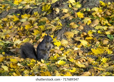 Cute black squirrel at wild natural park on Autumn day