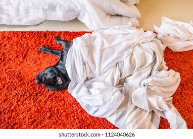 cute black staffordshire bull terrier dog lying on a red rug on a bed room floor sleeping under sheets and a duvet cover taken off the bed for laundry