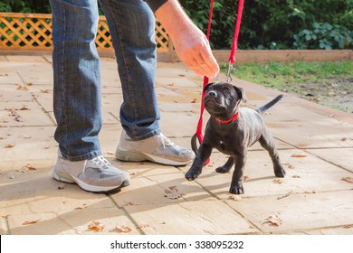 A cute black Staffordshire bull terrier puppy with a red collar and red leash, standing on three legs, being trained by a man in jeans and trainers holding a treat for the puppy. Dog training.
