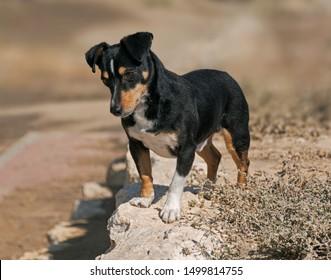 a cute black and tan doxie pin dog standing on a wall looking intently at something below with a blurred background and weedy vegetation in the foreground