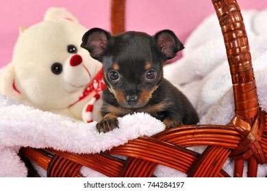 Cute black and tan short-haired Russkiy toy (Russian toy terrier) puppy in a basket with white toy bear on a pink background.