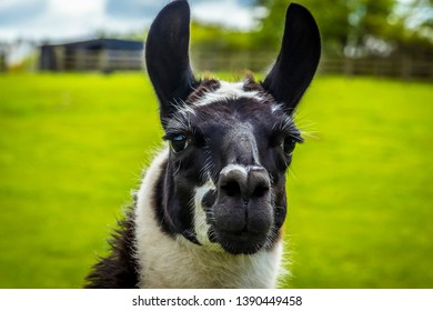 A cute black and white alpaca on a farm in Worksop, UK on a spring day, shot with face focus and blurred background