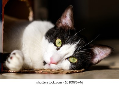 A cute black and white Arabian Mau kitten is staring at the camera