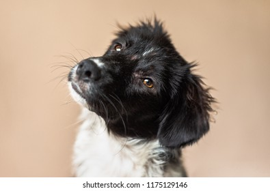 Cute black and white Border Collie mix puppy looks at the camera against a neutral brown beige background, tilting her head with a curious expression. Dog is missing fur from severe allergies