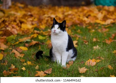 cute black and white cat sitting on the lawn in the garden in autumn surrounded by yellow maple leaves, he looks a bit quizzically
