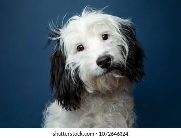 Cute black and white cockapoo on blue background - studio portrait