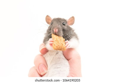 Cute black and white decorative rat clamped in hand isolated on white background