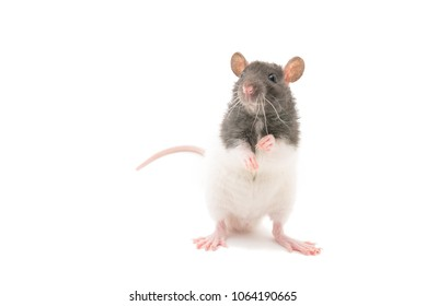 Cute black and white decorative rat standing on hind legs isolated on white background