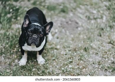Cute black and white dog looking at camera. French bulldog