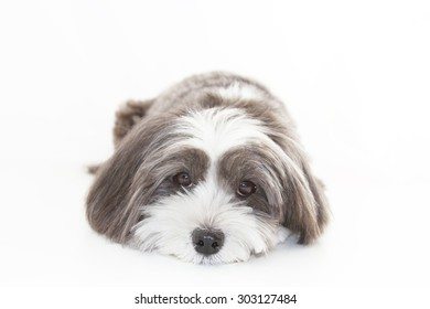 A cute black and white dog lying down facing forward.
